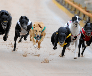 Victorian Government Leads Initiative To Boost Jobs In Greyhound Racing