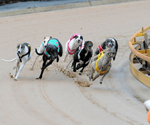 Victorian Greyhound Racing With Nothing In Reserve