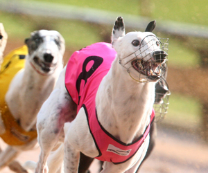 Greyhound Racing South Australia Announce Prizemoney Increases