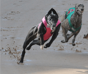 Hobart Buddies Provide Devonport Greyhounds Upset