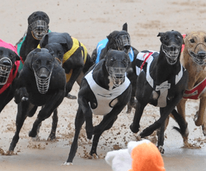 Fine Only For Healesville Greyhounds Positive Swab To Ketoprofen