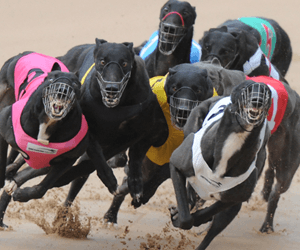 Three Month Disqualification For Manhandling Bulli Greyhounds Manager