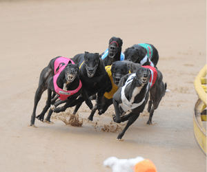 This Week In Greyhound Racing History: 19th November – 25th November