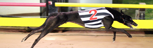 Dyna Lachlan September Greyhound Of The Month