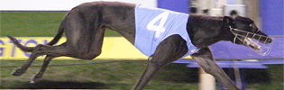 High Earner Named AGRA June Greyhound Of The Month