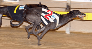 Best bet, roughie, quaddie in greyhound racing for May 4, 2015
