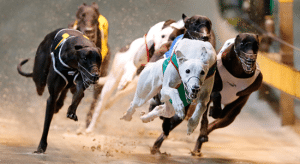 Saturday's best greyhound racing tips and full betting preview
