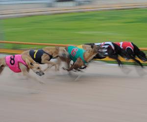 Jason Fletcher's duo shine in Nowra Summer Puppy Classic heats