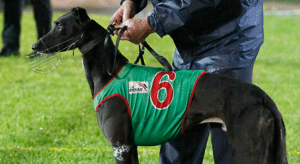 Tuesday's top greyhound racing multi bet tips and odds