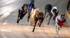 Friday's free greyhound racing multi bet tips and betting preview