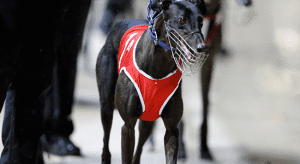 Tuesday's top greyhound racing multi picks and betting odds