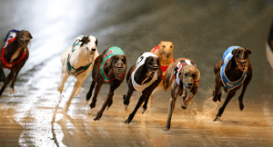 Sunday's free greyhound racing parley picks September 13, 2015