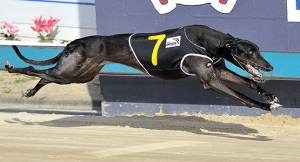 Greyhound racing multi bet tips Tuesday June 30, 2015