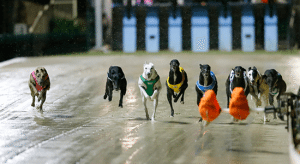 Saturday's free greyhound racing multi bet selections