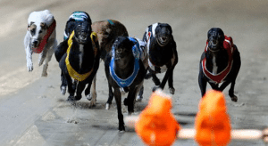 Monday's mega greyhound racing multi bet with best bookmaker odds