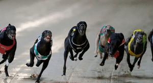 Sunday's best greyhound racing multi bet October 4, 2015