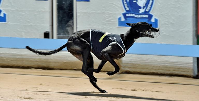 Gosford greyhounds