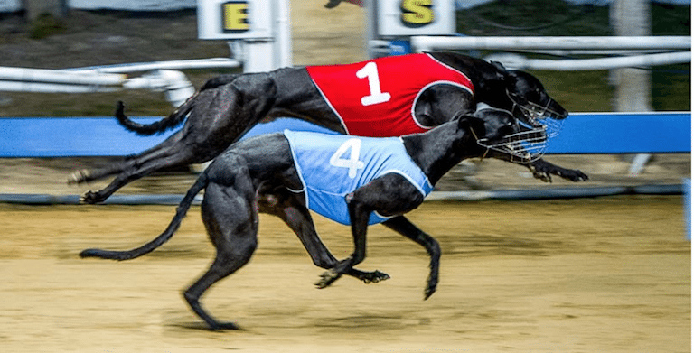 Greyhound racing news