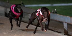 Why shorter races are hurting the NSW greyhound industry