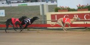 Tasmanian greyhounds get green light to get back on track